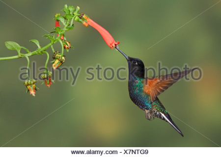 Velvet-purple Coronet (Boissonneaua jardini) feeding at a flower while flying at the Mindo Loma  reserve in northwest Ecuador. - Stock Photo