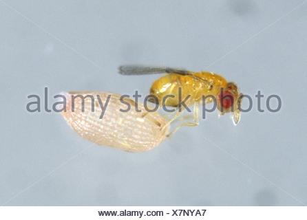 Parasitoid wasp (Trichogramma sp.) with angoumois grain moth egg - Stock Photo