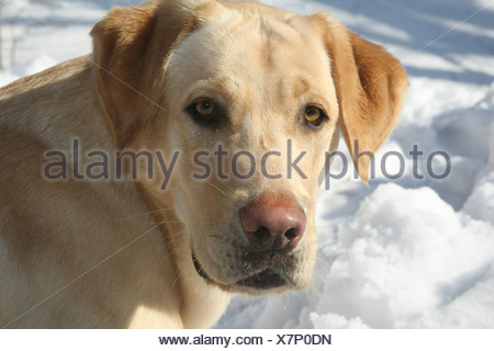 Labrador Retriever, Canis lupus familiaris, Feldberg, Feldberger Seenlandschaft, Mecklenburg-Vorpommern, Germany - Stock Photo