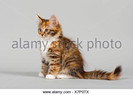 Siberian Forest Cat, kitten, 7 weeks - Stock Photo