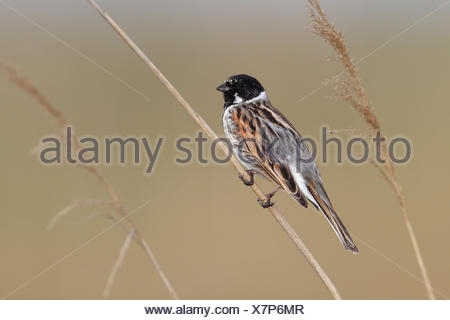 Common Reed Bunting (Emberiza schoeniclus), male perched on reed, Lauwersmeer National Park, Holland, The Netherlands - Stock Photo