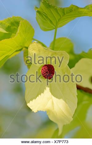 Dove tree, Handkerchief tree, Pocket handkerchief tree or Ghost tree (Davidia involucrata), blossoms, occurrence in China - Stock Photo