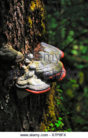 Red Banded Polypore (Fomitopsis pinicola), on a spruce tree, Wimbachtal Valley, Berchtesgaden National Park, Ramsau - Stock Photo