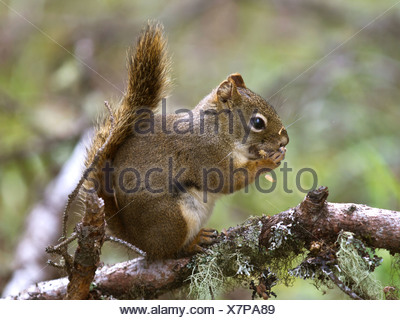eastern red squirrel, red squirrel (Tamiasciurus hudsonicus), sitting on a branch overgrown with lichen, Canada, British Columbia, Glacier Bay National Park - Stock Photo