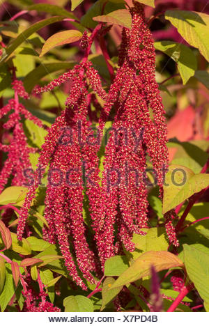 Love lies bleeding, Love.lies-bleeding, Inca wheat, kiwicha (Amaranthus caudatus), inflorescence - Stock Photo