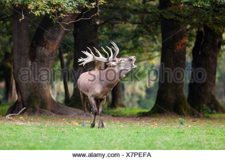 Red deer (Cervus elaphus) belling, Germany, Europe - Stock Photo
