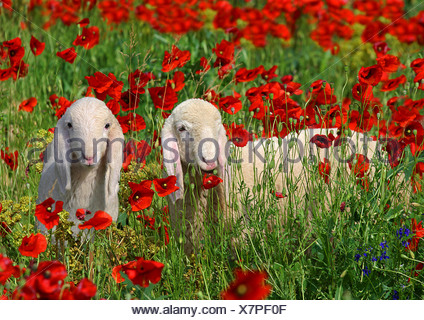 two lambs on meadow with poppies / Ovis Aries - Stock Photo