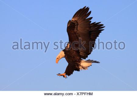 Bald Eagle, Haliaeetus leucocephalus, Weisskopfseeadler, Homer, Kenai Peninsula, Alaska, USA - Stock Photo