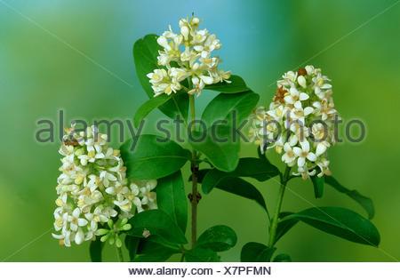 blossom; shrub; Ligustrum; - Stock Photo