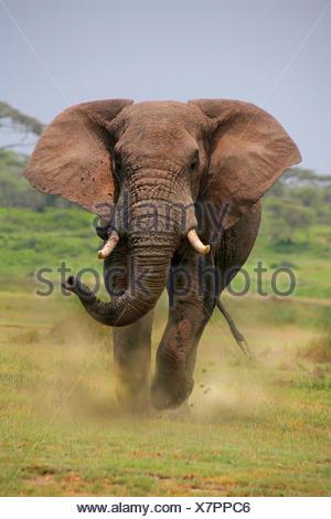 African elephant (Loxodonta africana), bull elephant attacking, Tanzania, Serengeti National Park - Stock Photo