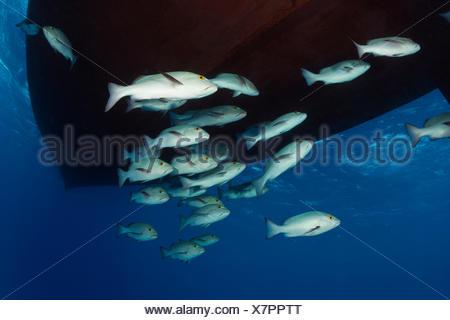 Shoal of Red Snapper, Lutjanus bohar, Great Barrier Reef, Australia - Stock Photo