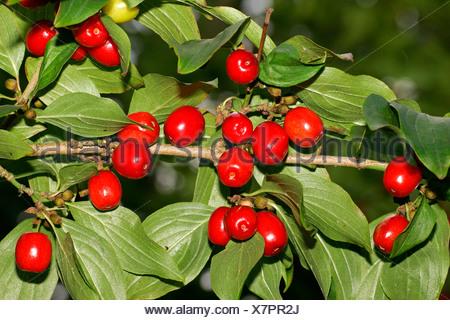 Cornelian cherry - branch with berries - fruits (Cornus mas) - Stock Photo