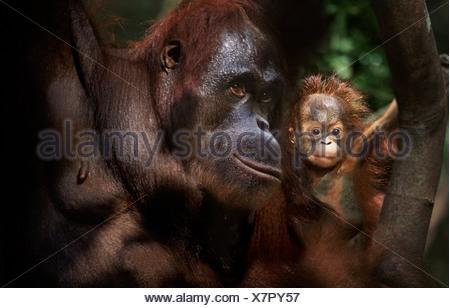 Orangutan mother and baby Tanjung Putting Borneo