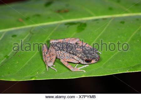 Frog of borneo gading national park sarawak malaysia borneo - Stock Photo