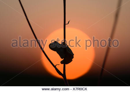 European tree frog (Hyla arborea) at sunset,near Leipzig,Saxony,Germany - Stock Photo
