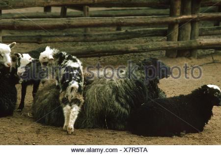 Gotland, Gotland Sheep Gotland Pelt  (Ovis ammon f. aries), group in sheepcote - Stock Photo