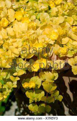 Golden creeping Jenny Lysimachia nummularia Aurea flowering acid green yellow creeping plant - Stock Photo
