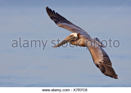 Brown Pelican (Pelecanus occidentalis) searching for food while flying off the coast of Ecuador. - Stock Photo