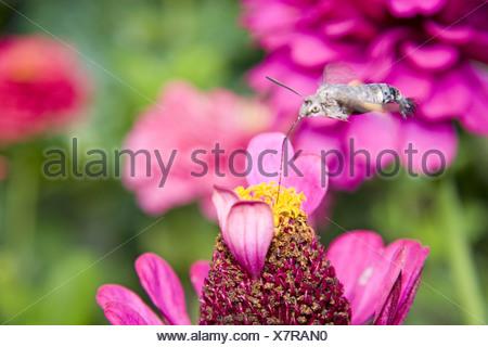 hummingbird hawkmoth (Macroglossum stellatarum), on zinnia blossum, Germany, Baden-Wuerttemberg - Stock Photo
