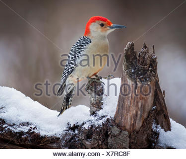 Red Headed Woodpecker perching on a branch covered in snow. - Stock Photo