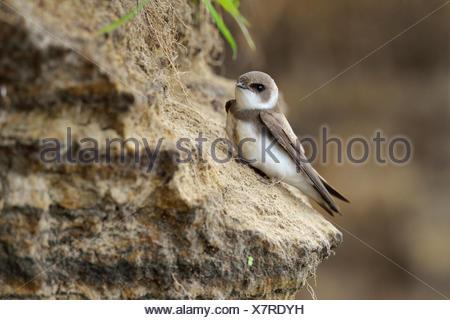 Sand Martin (Riparia riparia), Poland - Stock Photo