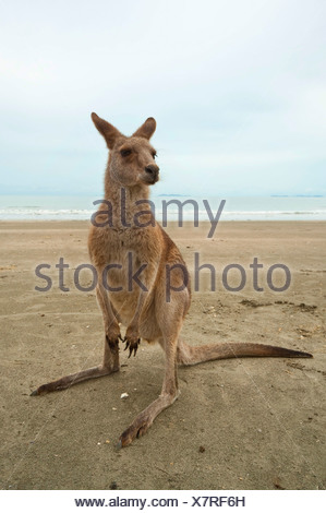 eastern gray kangaroo (Macropus giganteus), on the beach, Australia, Queensland, Cape Hillsborough - Stock Photo