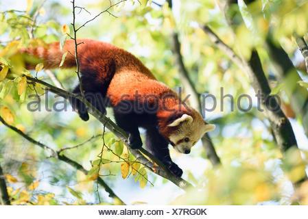 lesser panda, red panda (Ailurus fulgens), climbing on a branch - Stock Photo