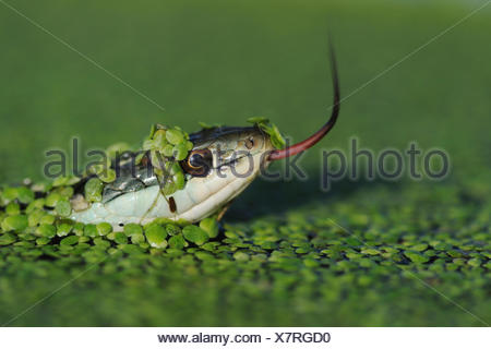 Head portrait of Gulf Coast Ribbon snake (Thamnophis proximus orarius) covered in duckweed and swimming, with tongue protruding,  Fennessey Ranch, Refugio, Corpus Christi, Coastal Bend, Texas Coast, USA - Stock Photo