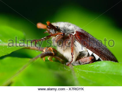 Cockchafer, Melolontha, insects, scarab beetles, Polypagha, beetle, creepy-crawlies, animal, animals, Germany, Europe,