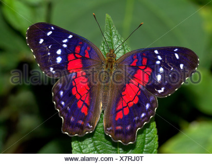 Brown Peacock or Scarlet Peacock Butterfly Anartia amathea - Stock Photo