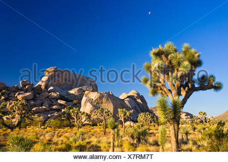 joshua tree (Yucca brevifolia), growing in front of granite rock formations, USA, California, Mojave, Joshua Tree National Park - Stock Photo