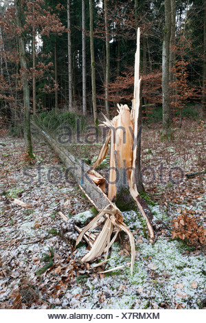 Fallen pine tree in a forest, storm, wind damage - Stock Photo