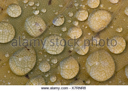 water drops on a leaf, Germany, Lower Saxony - Stock Photo