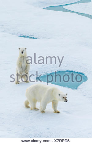 A standing polar bear cub and its mother (Ursus maritimus) wander across pack ice in the Canadian Arctic. - Stock Photo