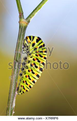 swallowtail (Papilio machaon), caterpillar starts pupation, Germany - Stock Photo