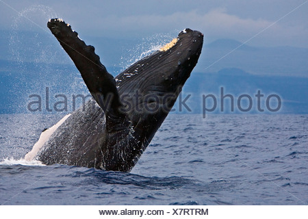 Humpback Whale, Megaptera novaeangliae - Stock Photo