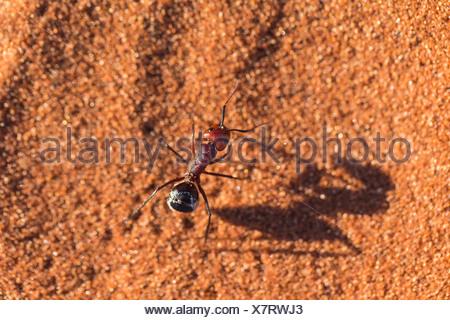 Namib desert dune ant (Camponotus detritus) - Stock Photo