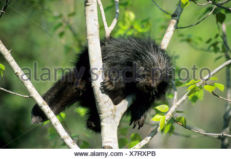 A month-old baby porcupine (Erethizon dorsatum) learning to climb.  Eastern USA. - Stock Photo