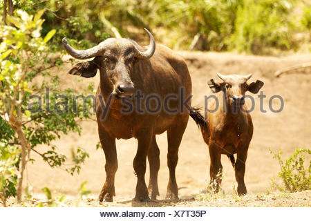 Cape buffalo (Syncerus caffer) with calf, Kruger National Park, South Africa - Stock Photo