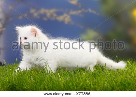 Siberian forest cat kitten walking, 7 weeks, white coat - Stock Photo