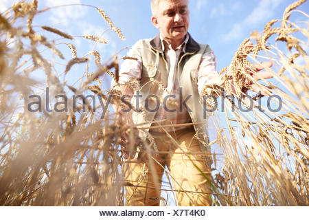Farmer in wheat field quality checking wheat - Stock Photo