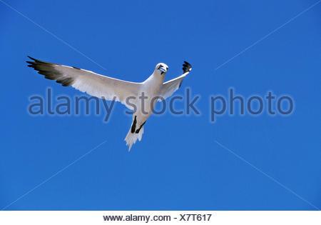 Northern Gannet, sula bassana, Adult in Flight against Blue Sky, Bonaventure Island in Quebec - Stock Photo