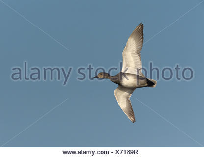 Gadwall - Anas strepera - Stock Photo