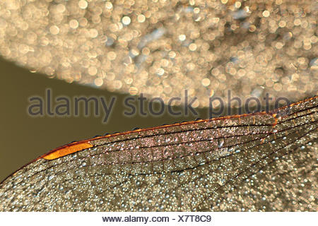 Dew-covered wings of a dragonfly in early morning backlight - Stock Photo
