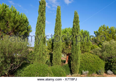 Italian cypress (Cupressus sempervirens), columnar cypresses, Italy - Stock Photo