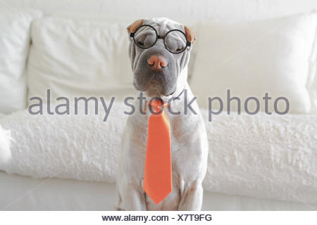 Shar-pei dressed as business man - Stock Photo