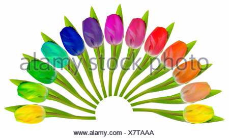 Colourful Tulips arranged in a fan-shape on white - Stock Photo