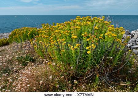 GOLDEN SAMPHIRE Inula crithmoides (Asteraceae) - Stock Photo