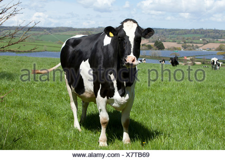 A black and White dairy cow ( Friesian / Holstein ) with a ear tag on Langunnett Farm near Lerryn, Cornwall. - Stock Photo
