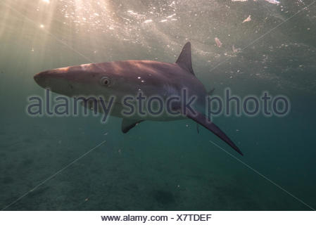 A Caribbean reef shark swims off the coast of Cat Island in the Bahamas. - Stock Photo